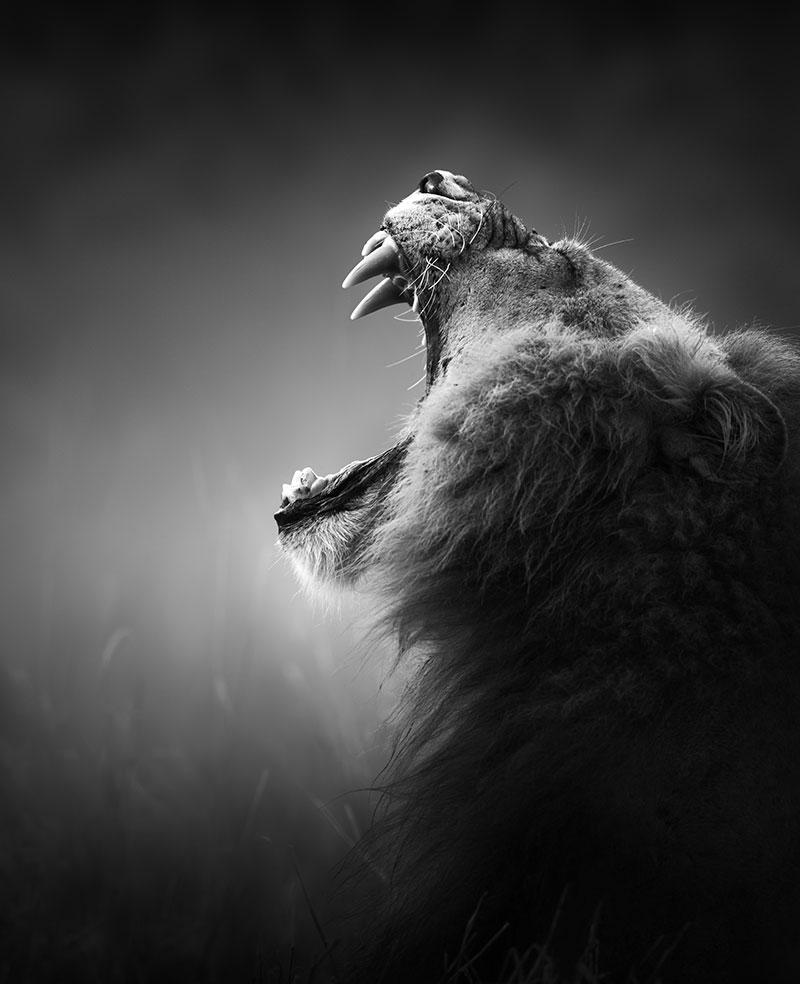 Kukreyen Aslan Siyah Beyaz 3d Duvar Kagidi