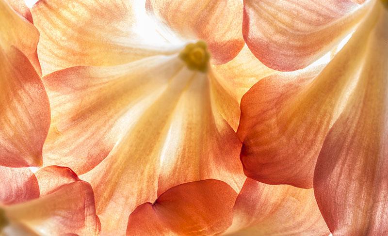 Yellow Orange Daffodil Amaryllis Blossom Custom Wall Mural