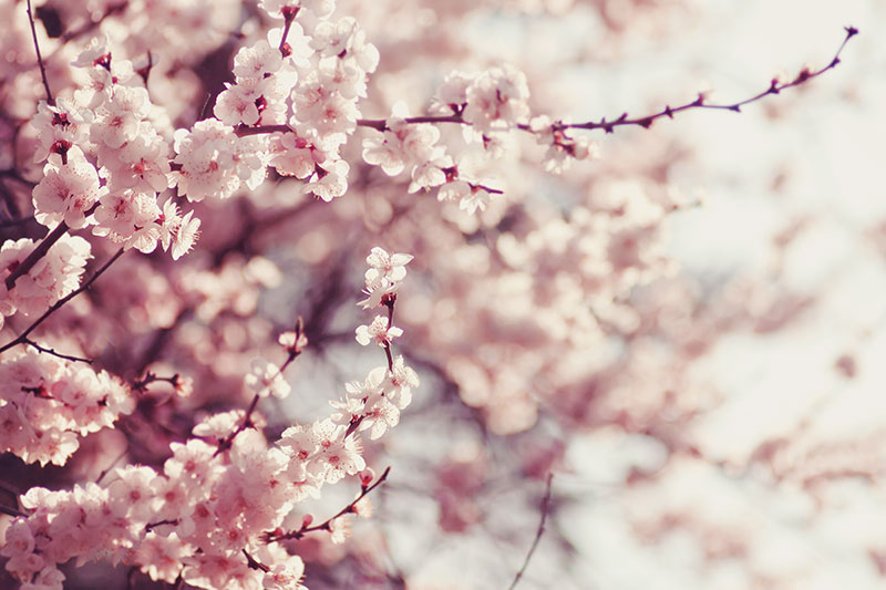 Dalda Acmis Pembe Kiraz Cicekleri Sakura Bahar Duvar Kagidi