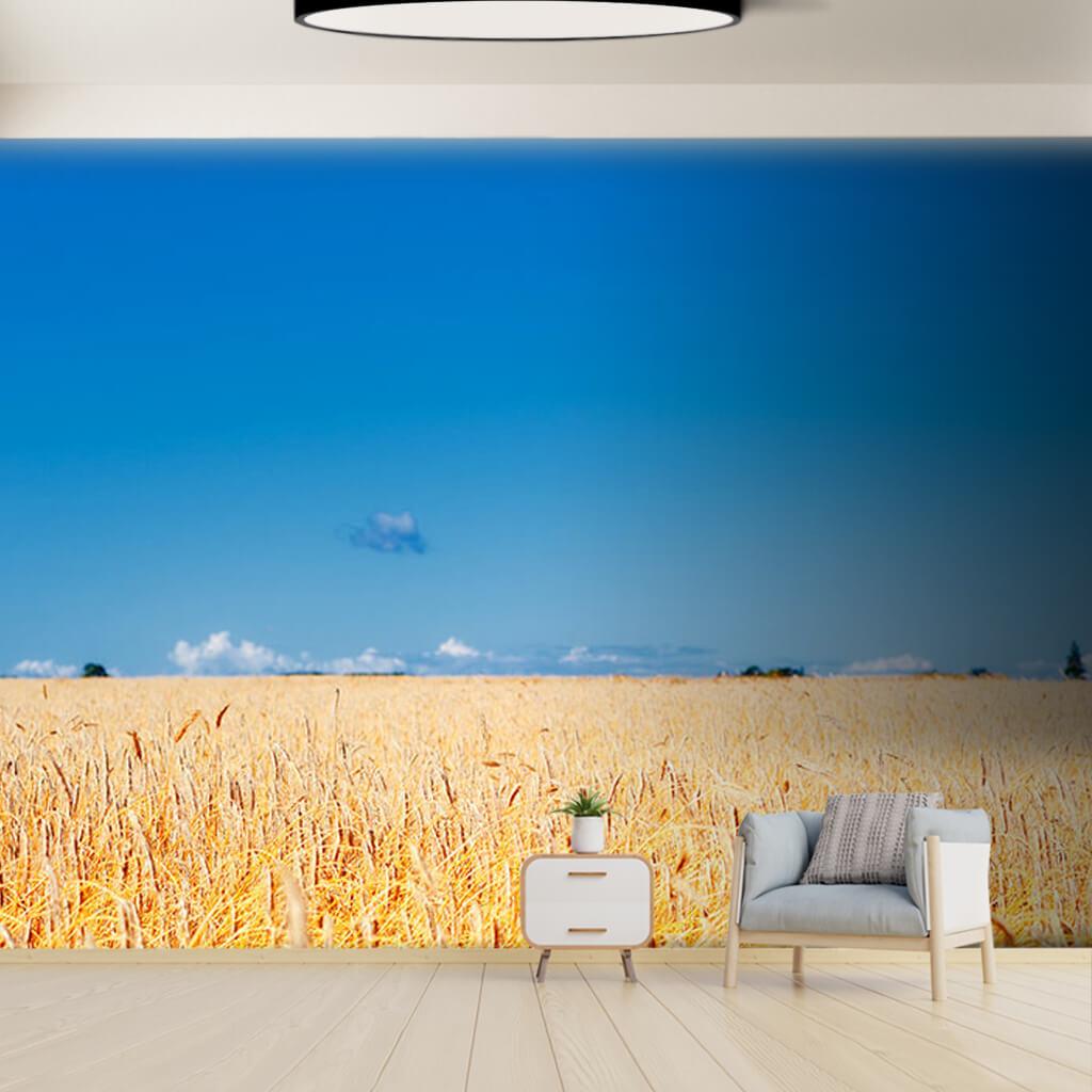 Buğday arpa tarlası sarı başaklar ve gökyüzü duvar kağıdı
